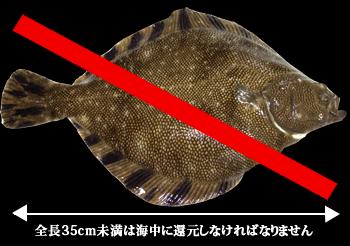 35cm未満マツカワ
